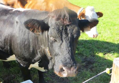 Tux-Zillertaler Kuh Sandra