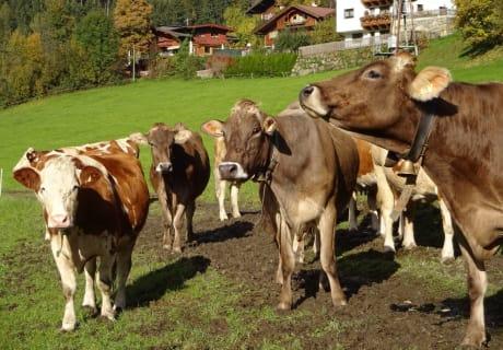 unser Vieh auf der Weide