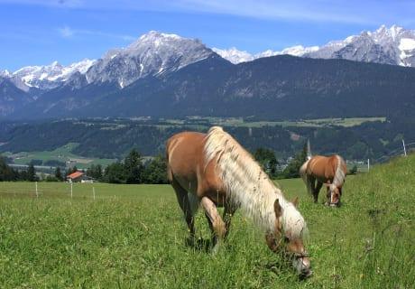 Haflinger Tirol