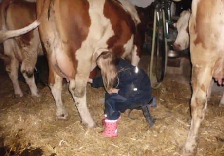 Die Gäste beim Melken der Kühe