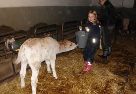 Das Kälbchen bekommt ihre Milch