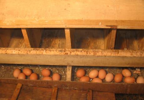 Täglich frische Eier