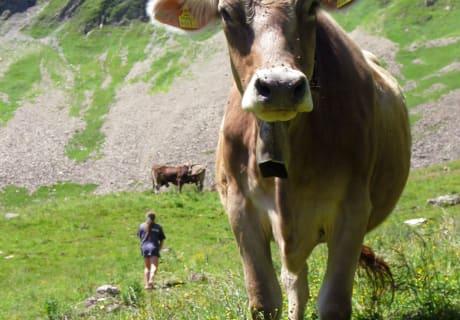 glückliche Kühe auf der Wiese
