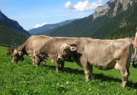 Kühe lieben das frische Gras