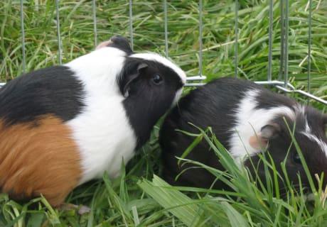 Unsere zwei Meerschweinchen