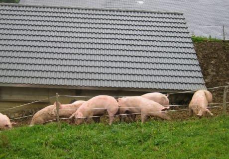 """die Alpschweine fühlen sich """"sauwohl"""""""