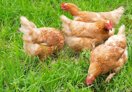Hühner am Hof