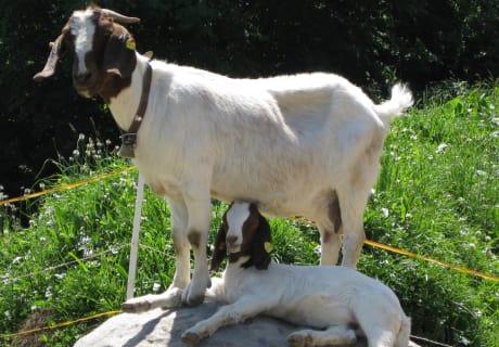 unsere Ziege Birke mit Kind