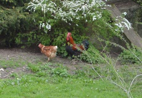 Hahn und Henne
