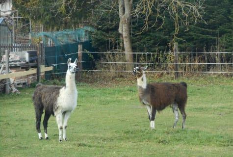 Lamas - Ferienbauernhof Schierhuber