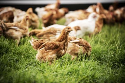Bio Hennen und Hähne