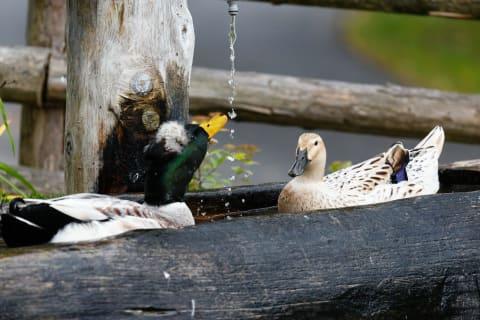 Enten beim morgendlichen Bad