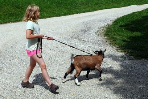 Spaziergang mit Ziege Lessi