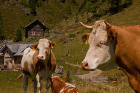 Animals on the Nockalm