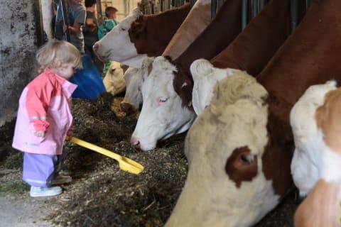 Kühefüttern