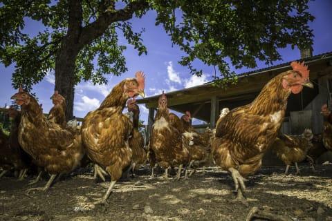 Unsere glücklichen Hühner sorgen für Ihr Frühstücksei