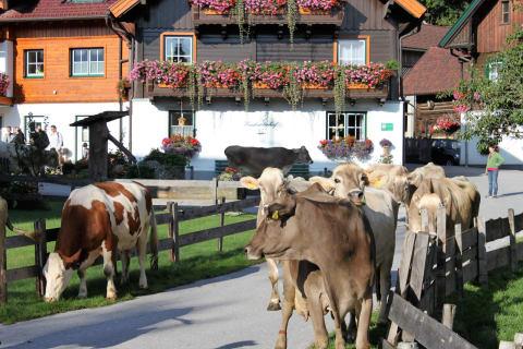 Kühe auf die Weide bringen