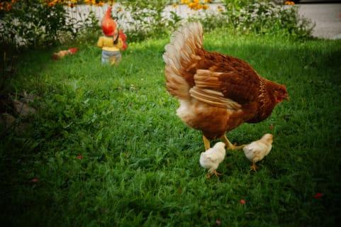 Die glücklichen Hühner