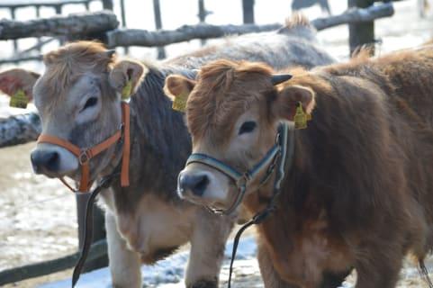 KLühe Cows