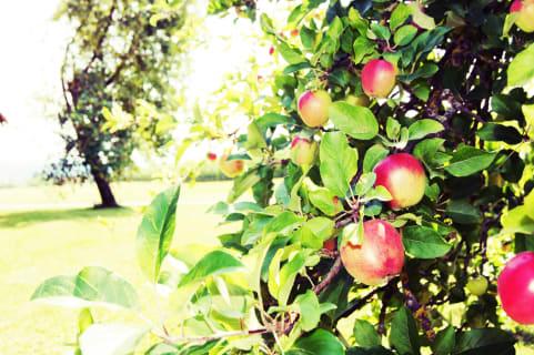 Grafhaidergut- Apfelbaum