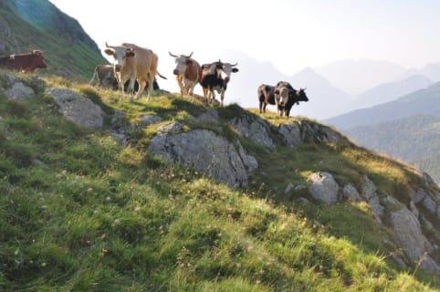 zu den Kühen auf die Alm