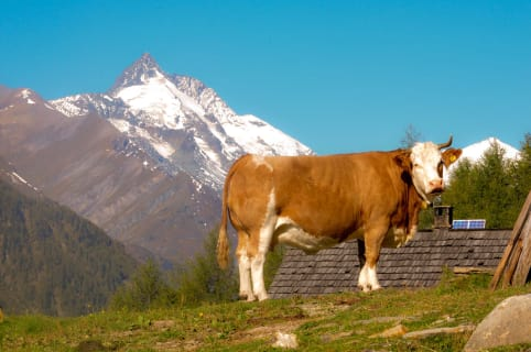 Großglockner and cow are also a part of it