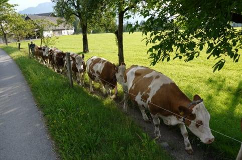 Kühe gehen zur Weide