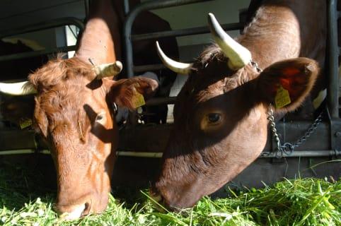 Frisches Gras für unsere Kühe