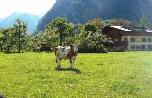 Kuh Rosi genießt die Frühlingssonne
