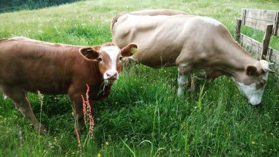 Die Kühe machen auch Sommerurlaub auf der Kreinzhuabn