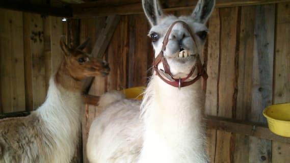 Unsere beiden Lamas im Stall
