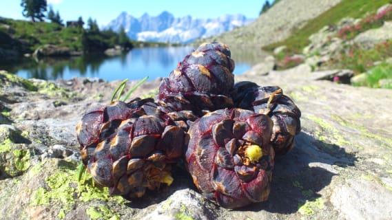 Swiss stone pine