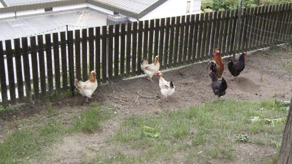 Sulmtaler Hühner