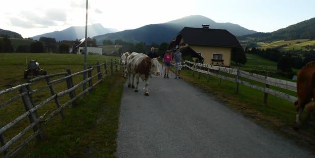 Kühe treiben will gelernt sein