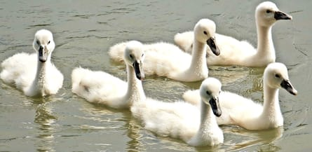 babies swans