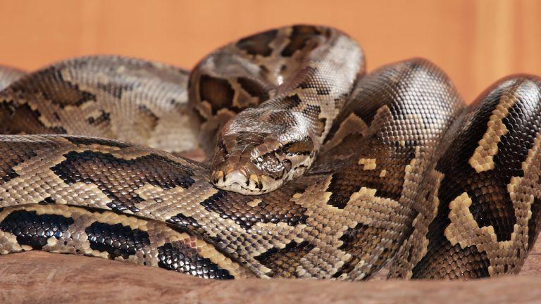 Un serpent dans une botte de foin