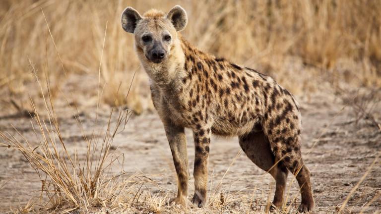 Une hyène dans la nuit