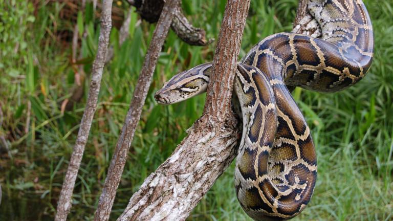L'invasion du python géant