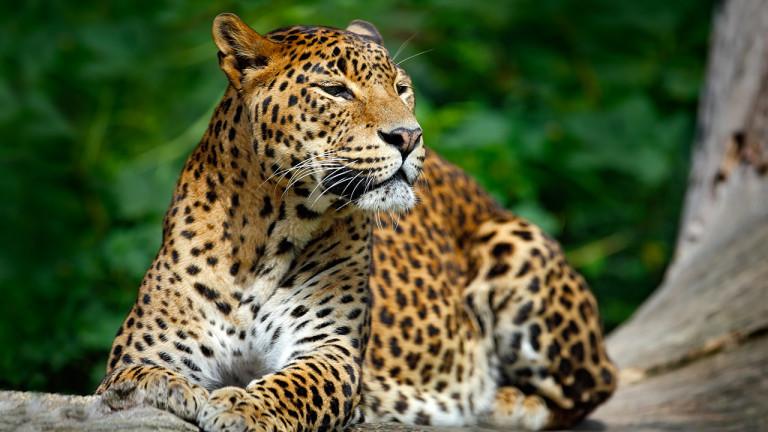 Le léopard mangeur d'hommes