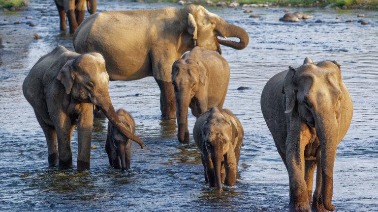 La charge de l'éléphant