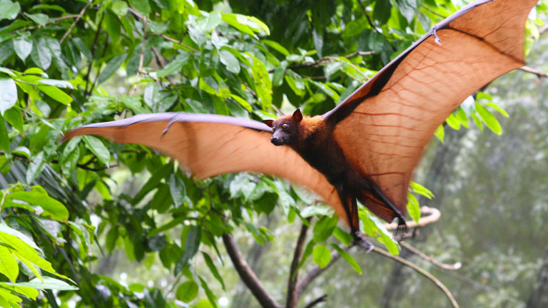 Des chauves-souris tueuses en Amazonie