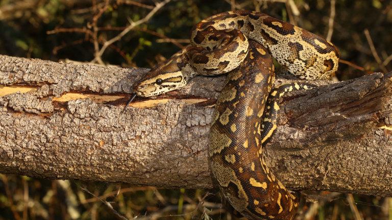 Un python monstrueux