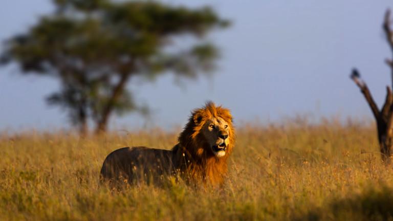 Sur les traces du lion monstrueux