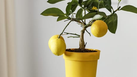 5 arbres à fruits à faire pousser à la maison