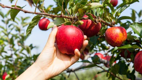 5 vergers près de Montréal où cueillir des pommes cet automne