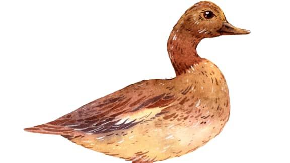 Les types de canards du Québec