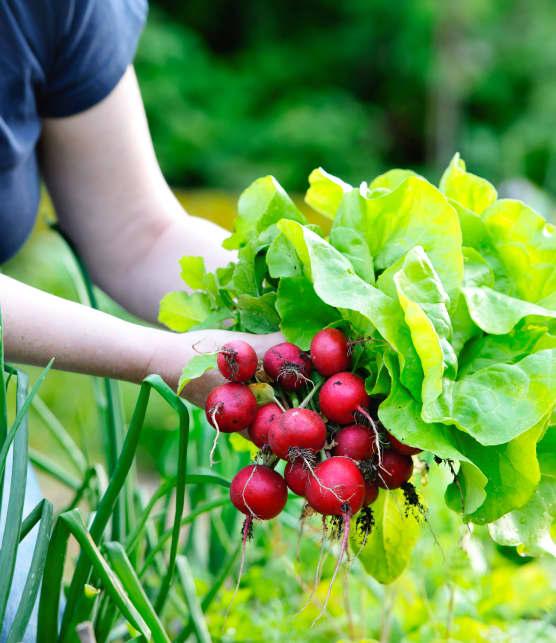 Potager maison : l'entretien et les récoltes