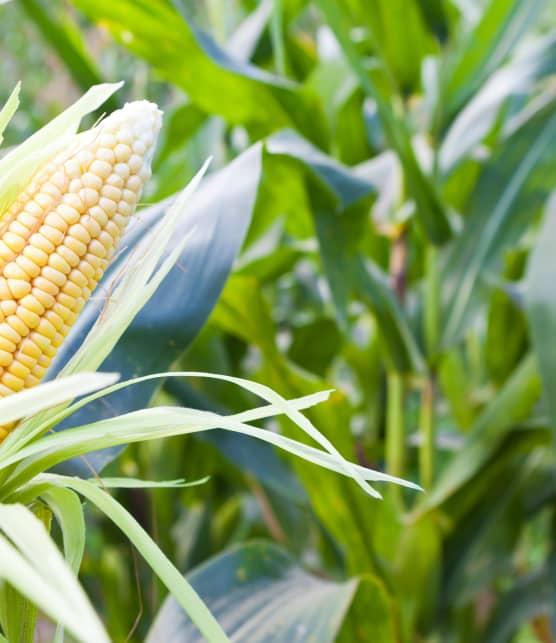 Nos conseils pour organiser et réussir son épluchette de blé d'Inde