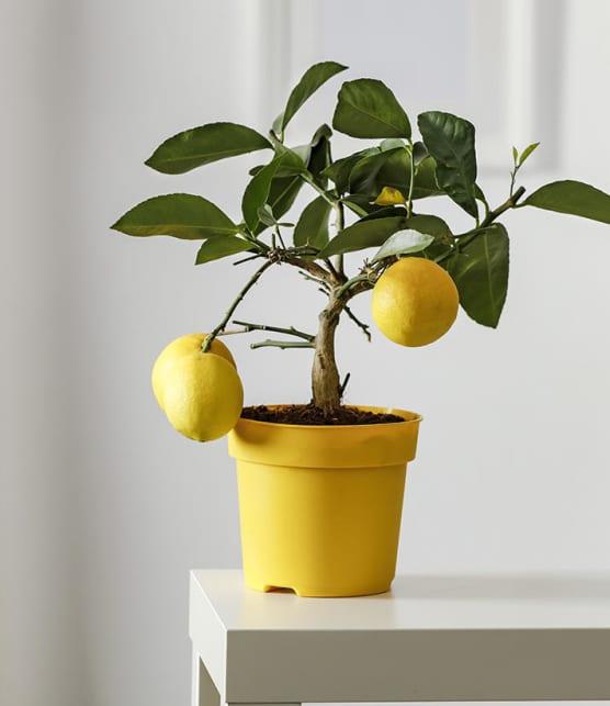 5 arbres à fruit qu'on peut faire pousser facilement à la maison à partir de graines!