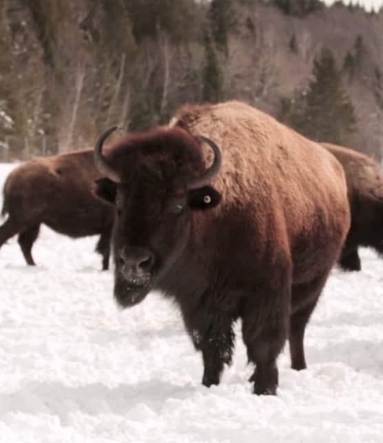 L'experte Josée Toupin nous présente son élevage de bisons